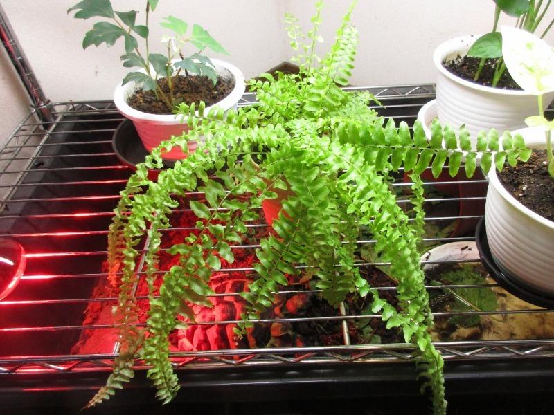 植物「ドデカミン!!」_b0362459_19434273.jpg