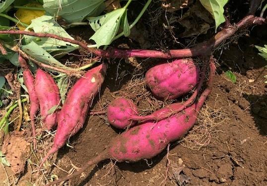 薩摩芋試し掘り、秋ジャガ植え付け、大根種蒔き8・18~19_c0014967_17272934.jpg