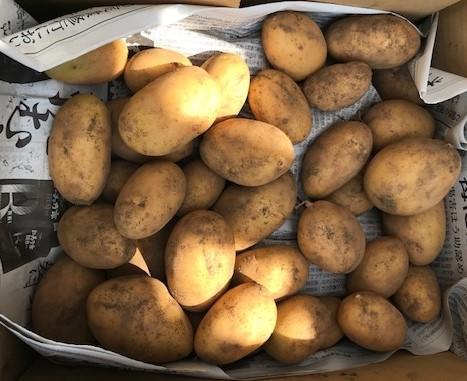 薩摩芋試し掘り、秋ジャガ植え付け、大根種蒔き8・18~19_c0014967_17283200.jpg
