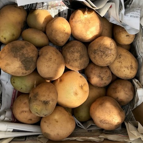 薩摩芋試し掘り、秋ジャガ植え付け、大根種蒔き8・18~19_c0014967_17285088.jpg