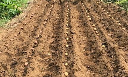 薩摩芋試し掘り、秋ジャガ植え付け、大根種蒔き8・18~19_c0014967_17290221.jpg