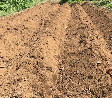 薩摩芋試し掘り、秋ジャガ植え付け、大根種蒔き8・18~19_c0014967_17291444.jpg