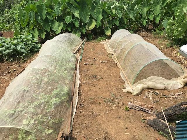 薩摩芋試し掘り、秋ジャガ植え付け、大根種蒔き8・18~19_c0014967_17344702.jpg