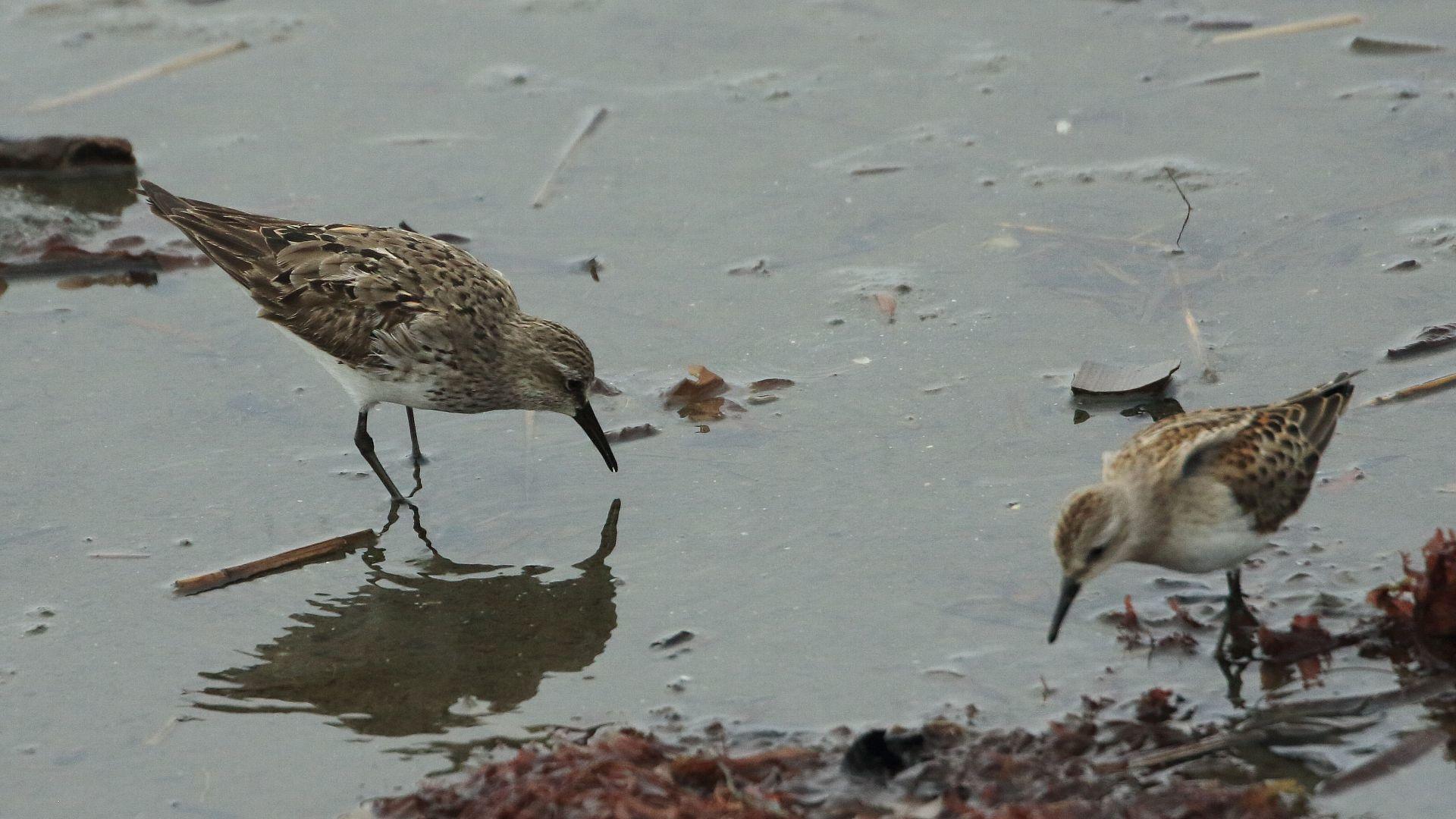 超珍鳥コシジロウズラシギとトウネンの大きさ比較_f0105570_21174626.jpg