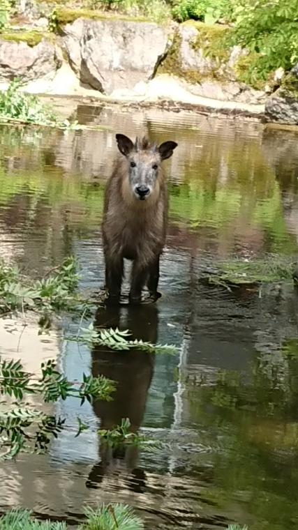 池の中にカモシカが!_b0185375_15042531.jpg