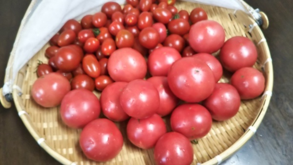 トマト🍅の収穫_e0262382_16385955.jpg