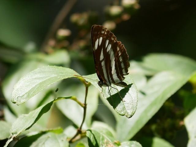 カクレミノの小さな花(初撮り)と、蝶々と蝉と_d0088184_21460922.jpg