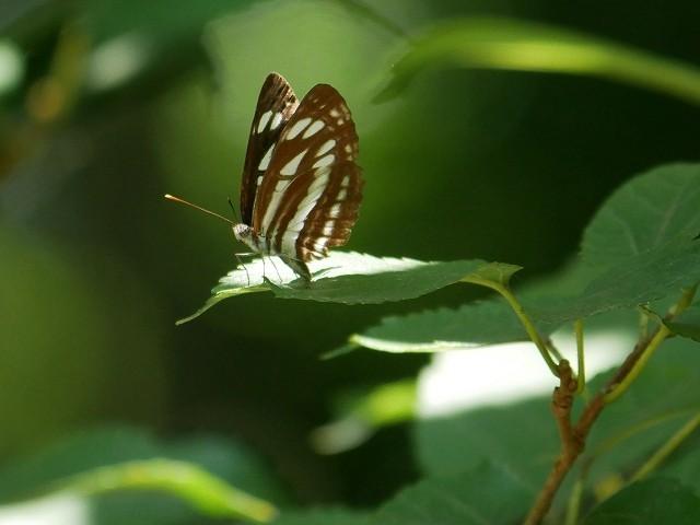 カクレミノの小さな花(初撮り)と、蝶々と蝉と_d0088184_21461732.jpg