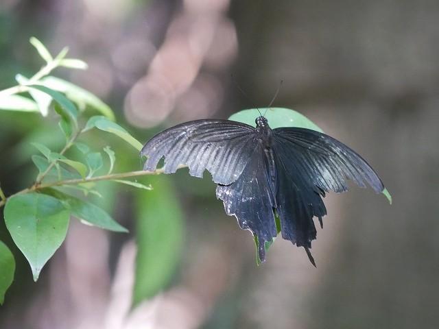 カクレミノの小さな花(初撮り)と、蝶々と蝉と_d0088184_21574879.jpg