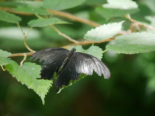 カクレミノの小さな花(初撮り)と、蝶々と蝉と_d0088184_21575703.jpg