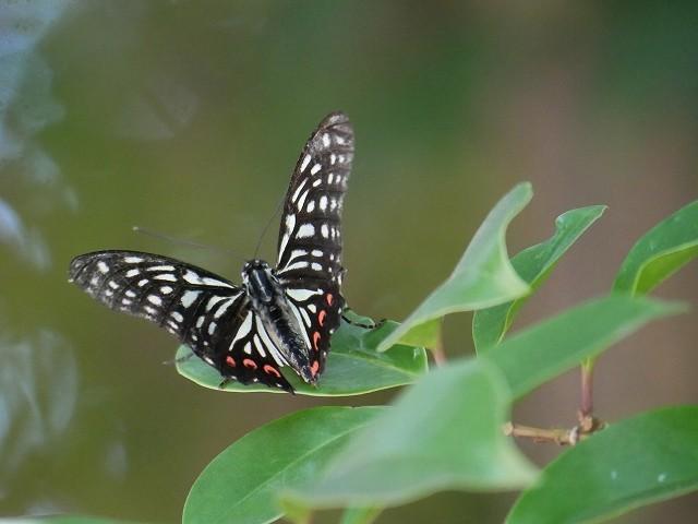 カクレミノの小さな花(初撮り)と、蝶々と蝉と_d0088184_22075451.jpg