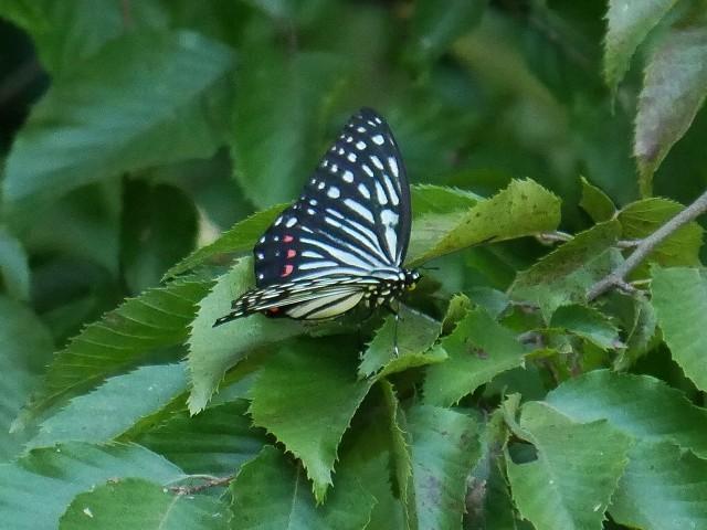 カクレミノの小さな花(初撮り)と、蝶々と蝉と_d0088184_22080317.jpg