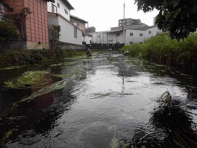 この時期に最も伸びる水草! 町内によって人数の確保が大変な田宿川の川そうじ_f0141310_07170766.jpg
