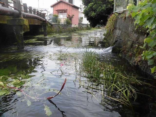 この時期に最も伸びる水草! 町内によって人数の確保が大変な田宿川の川そうじ_f0141310_07172680.jpg