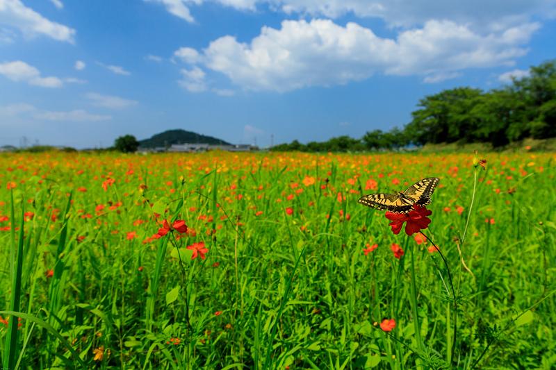 夏の花畑2019 キバナコスモス咲く藤原宮跡_f0155048_23323332.jpg