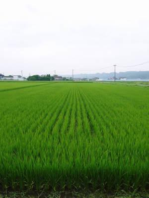 七城米 長尾農園 令和元年度のお米も美しく、元気に成長中!!平成30年度の『七城米』残りわずかです!_a0254656_16434481.jpg