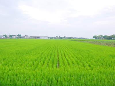 七城米 長尾農園 令和元年度のお米も美しく、元気に成長中!!平成30年度の『七城米』残りわずかです!_a0254656_16535564.jpg