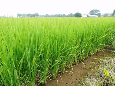 七城米 長尾農園 令和元年度のお米も美しく、元気に成長中!!平成30年度の『七城米』残りわずかです!_a0254656_16552651.jpg