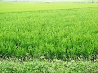 七城米 長尾農園 令和元年度のお米も美しく、元気に成長中!!平成30年度の『七城米』残りわずかです!_a0254656_17020516.jpg