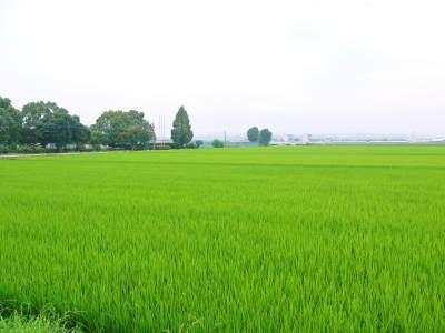 七城米 長尾農園 令和元年度のお米も美しく、元気に成長中!!平成30年度の『七城米』残りわずかです!_a0254656_17095108.jpg
