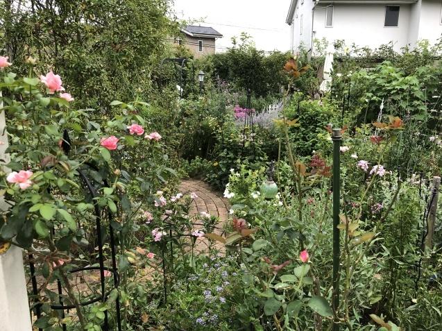 晩夏の庭「フロックス」「ラ・ローズ・ドゥ・モリナール」が繰り返し咲いています_a0243064_08535137.jpg