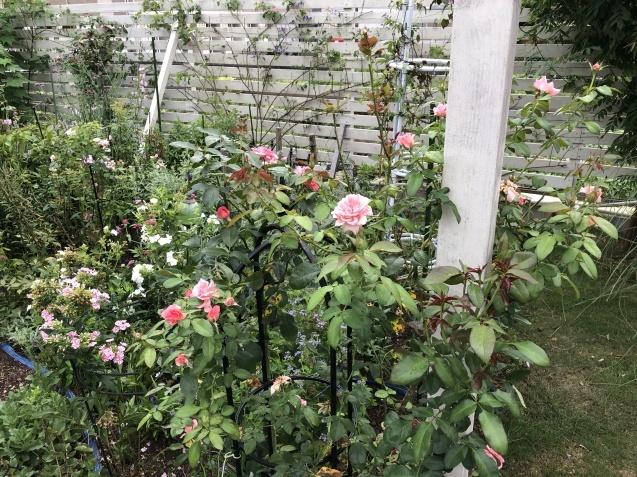 晩夏の庭「フロックス」「ラ・ローズ・ドゥ・モリナール」が繰り返し咲いています_a0243064_08564249.jpg