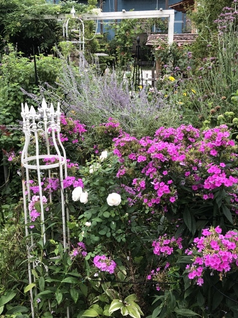 晩夏の庭「フロックス」「ラ・ローズ・ドゥ・モリナール」が繰り返し咲いています_a0243064_09101071.jpg