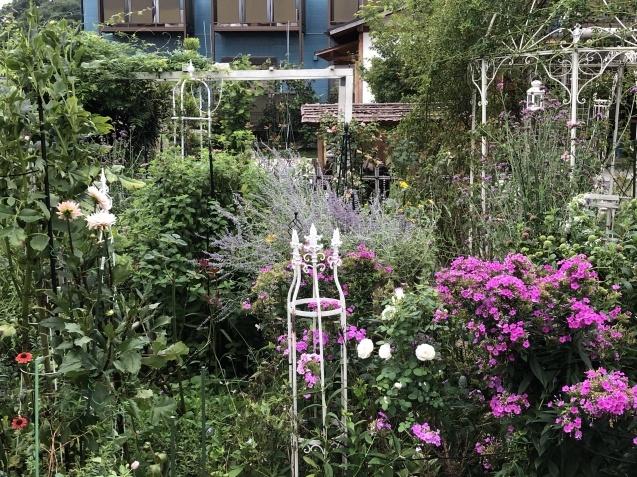 晩夏の庭「フロックス」「ラ・ローズ・ドゥ・モリナール」が繰り返し咲いています_a0243064_09125744.jpg