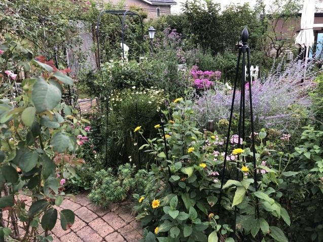 晩夏の庭「フロックス」「ラ・ローズ・ドゥ・モリナール」が繰り返し咲いています_a0243064_09151247.jpg