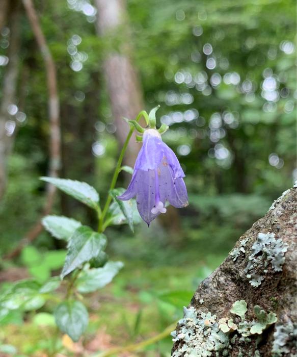深山シャジンが咲きました↓_c0301809_12100752.jpg
