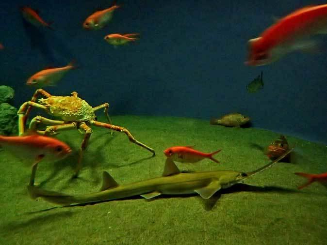 葛西臨海水族園:深海の生物③~泳ぐギンザメ「スポッテッド・ラットフィッシュ」_b0355317_20570944.jpg