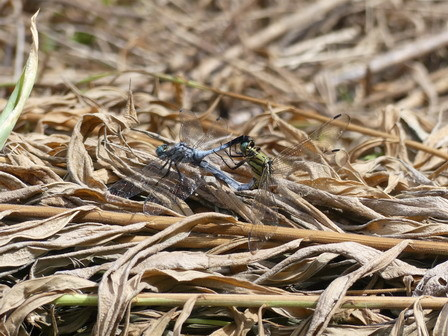 稲刈りが始まっています_a0123836_17154701.jpg
