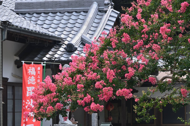 百日紅 2   奈良県_d0286954_05284730.jpg