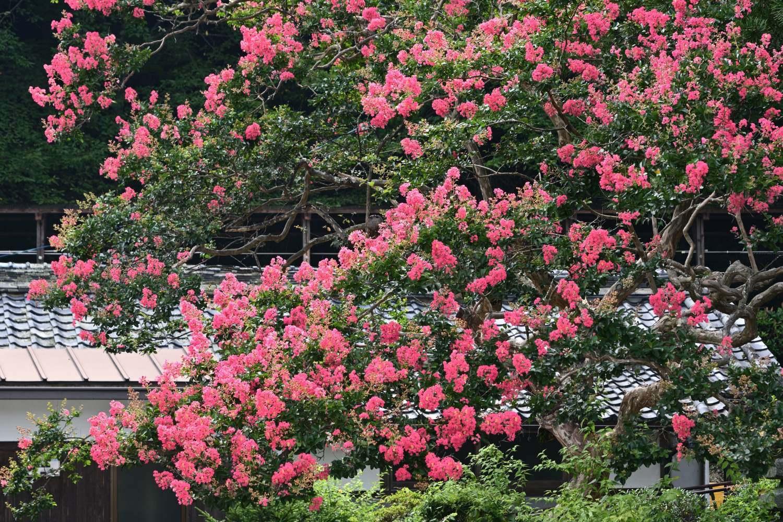 百日紅 2   奈良県_d0286954_05285359.jpg