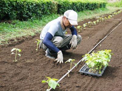 無農薬栽培の『焙煎えごま粒』好評発売中!令和元年の黒エゴマの定植作業!_a0254656_17583226.jpg