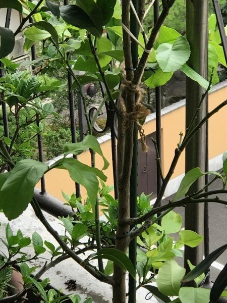 港区辺だけ集中豪雨、とレモンにはらぺこあおむし_e0397389_08215812.jpeg
