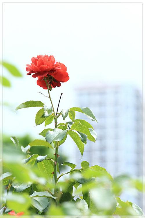 大通公園薔薇日和_e0235910_20111298.jpg