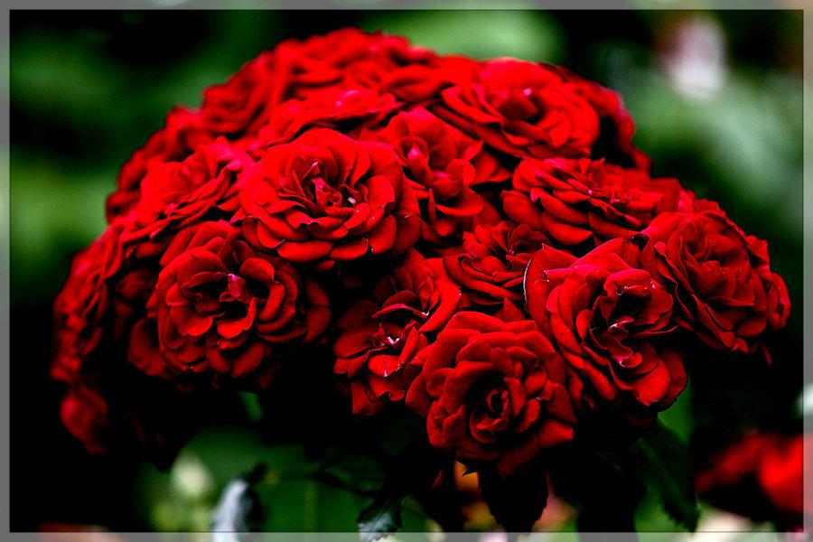 大通公園薔薇日和_e0235910_20113710.jpg