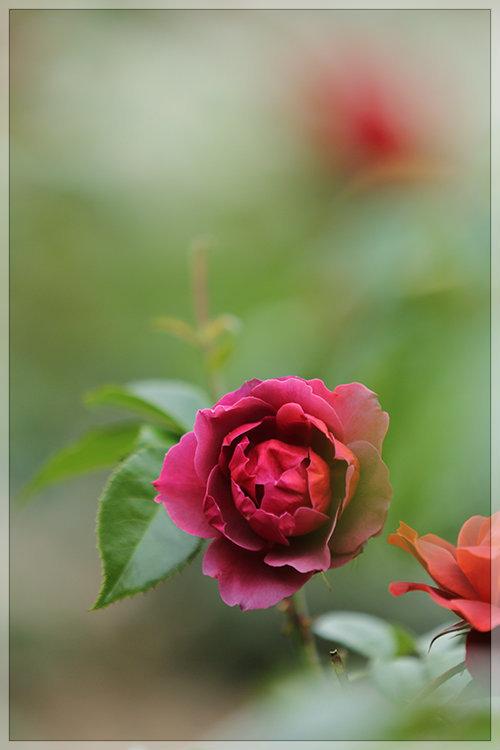 大通公園薔薇日和_e0235910_20114930.jpg