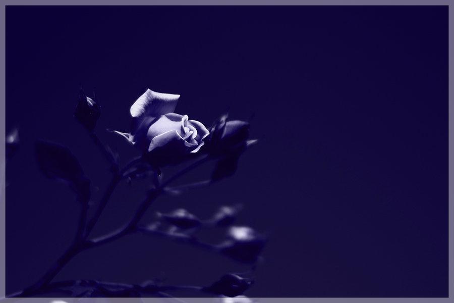 大通公園薔薇日和_e0235910_20131851.jpg