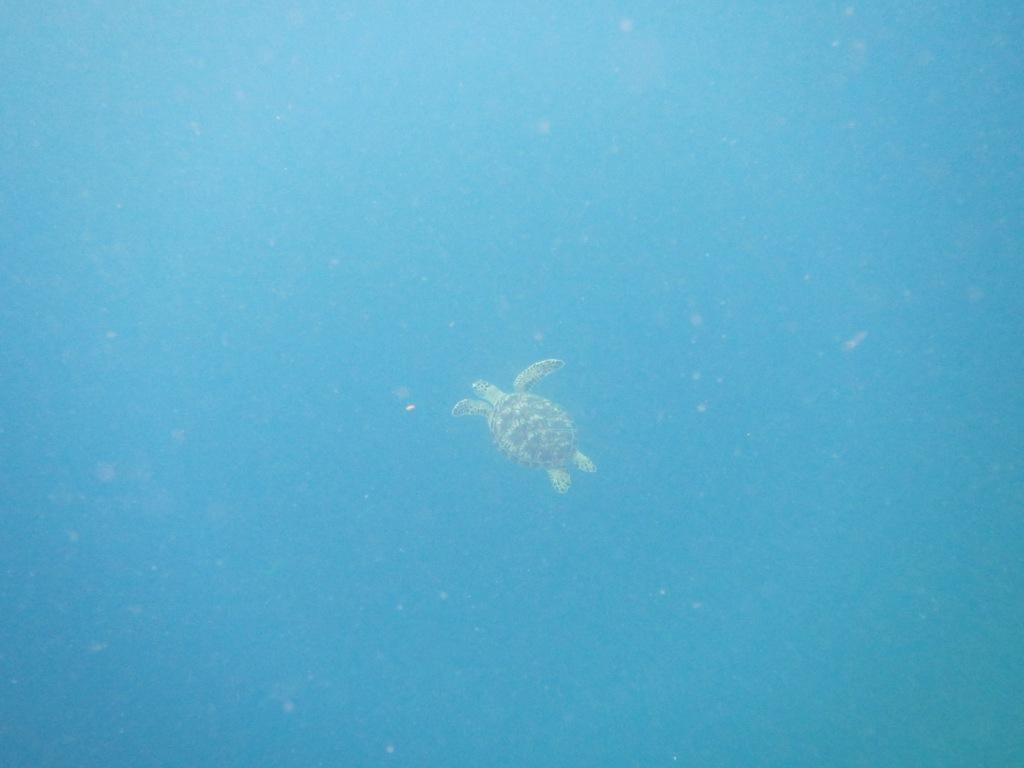 マンタとウミガメに会えたよ~\(^o^)/_a0189838_05555132.jpg