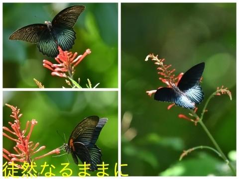 台湾の蝶たち_d0285540_06163502.jpg