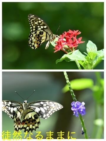 台湾の蝶たち_d0285540_06163712.jpg