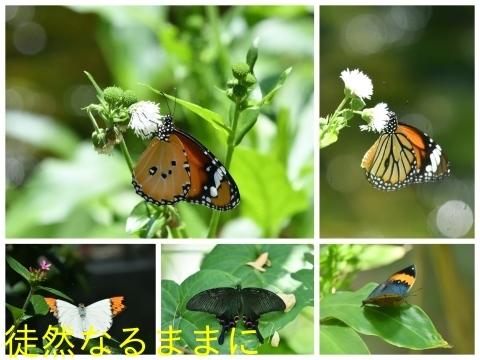 台湾の蝶たち_d0285540_06164035.jpg