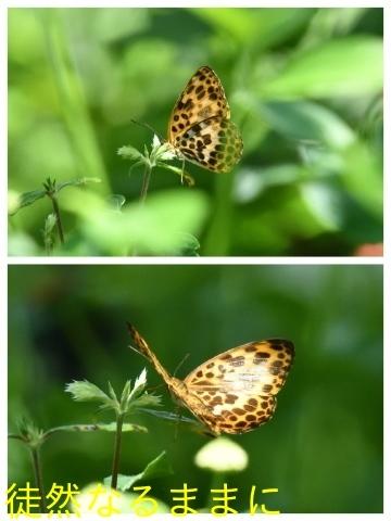 台湾の蝶たち_d0285540_06164289.jpg