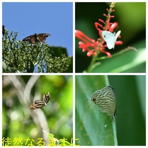 台湾の蝶たち_d0285540_06164861.jpg