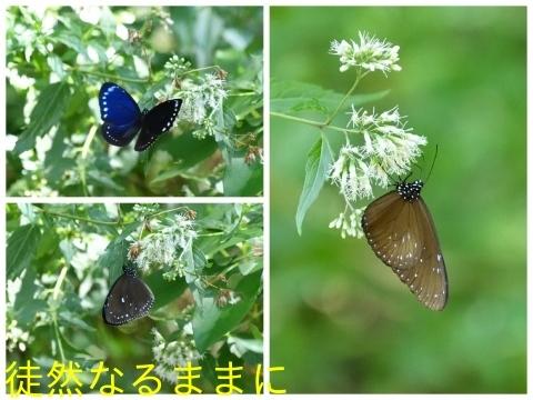 台湾の蝶たち_d0285540_06165052.jpg