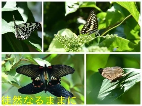 台湾の蝶たち_d0285540_06165376.jpg