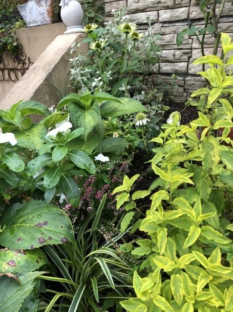 アプローチ花壇、「エキナセア'デリシャス・ナゲット'」の植え込みとエキナセア'グリーンエンジェル'その後_a0243064_11450851.jpg