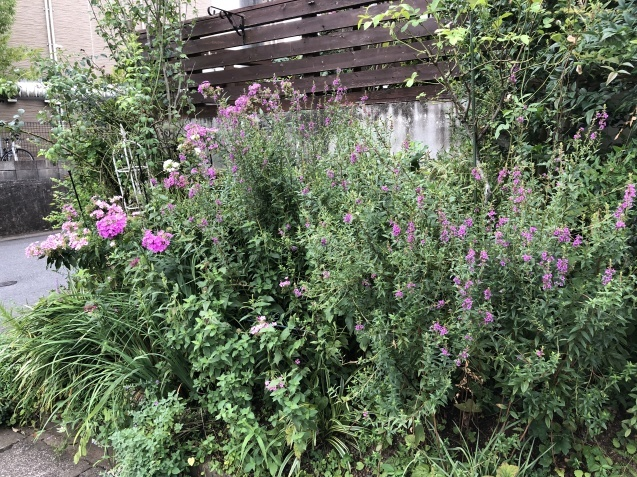 アプローチ花壇、「エキナセア'デリシャス・ナゲット'」の植え込みとエキナセア'グリーンエンジェル'その後_a0243064_12053179.jpg